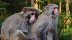 Rhesus Macaques in Zhangjiajie forest