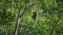 Fish Eagle sitting in a Tree by the river