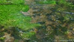 Green aquatic plants in a Russian River