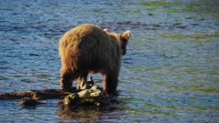 Russian Brown Bear hunts for Salmon in river