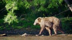 Russian Brown Bear hunts for Salmon hiding at river bank
