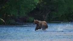 Russian Brown Bear chasing and catching a Salmon in the river