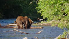Russian Brown Bear eating a Salmon in the river
