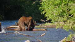 Russian Brown Bear eating a Salmon snaps at her cub