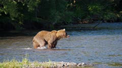 Russian Brown Bear stalks and catches a Salmon in the river