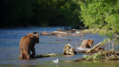 Russian Brown Bear eating a Salmon and her cub joins