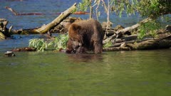 Russian Brown Bear cub in river playing with a stick