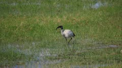 Ibis hunting in green marsh