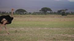 Ostrich feeding on the Savannah