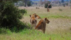 Lions Stalking Antelope in grass