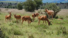 Red Hartebeest graze in green grass