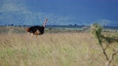 Ostrich walks across grassy plain