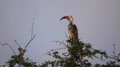 A Hornbill rests on a tree branch