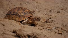 A Leopard Tortoise crawls and forages