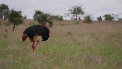 Ostrich walks across grassy plain searching for food