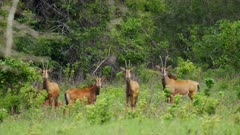 Sable Antelope herd in green grass