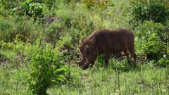 Warthogs grazing in green grass