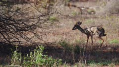 Dik Dik Antelope walks to edge of bush