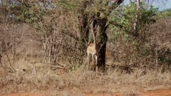 Standing Gerenuk Antelope feeding in trees