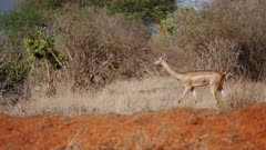 Gerenuk Antelope walks through brush