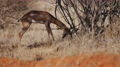 Male Impala Antelope mock fights with bush