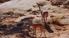 Impala herd look for water in dry river