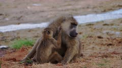 Baboons grooming in dry river bed