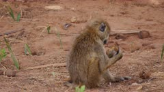 Baboon feeding in dry river bed