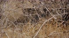 Leopard hiding in dry brush