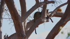 Leopard resting in tall tree