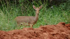 Dik Dik Antelope watches from edge of bush