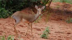 Dik Dik Antelope Pair watch from edge of bush