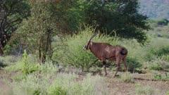 Eland Antelope grazse in grass