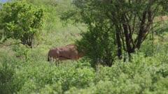Eland Antelope walks through the forest