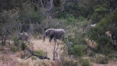 Elephants walk out of copse of small trees