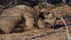 Black Rhino resting in the morning sun