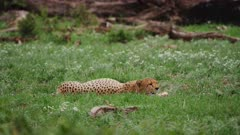 Cheetah resting in grass after feeding
