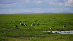 Large flock of Crested Cranes in wetlands