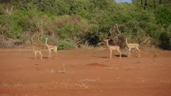 A herd of Gerenuk Antelope watch for predators
