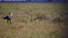Secretary bird stalks in shrot grass