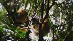 Indri Lemurs in Tree Canopy