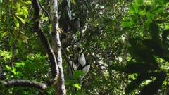 Indri Lemur in Tree Canopy