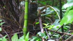 Gray Bamboo Lemur at base of Bamboo