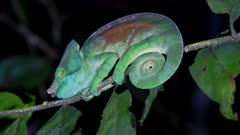 Parsons Chameleon on a branch at night