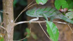 Female Parsons Chameleon on a branch