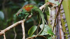 Male Parsons Chameleon on a branch