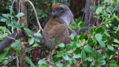 Gray Bamboo Lemur in low trees