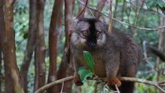 Common Brown Lemur in Tree Canopy