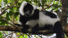 Black and White Ruffed Lemur in Tree Canopy