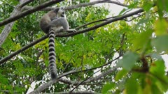 Ringtailed Lemurs eating leaves in treetops